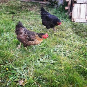 Avoir des poules pour éviter le gaspillage